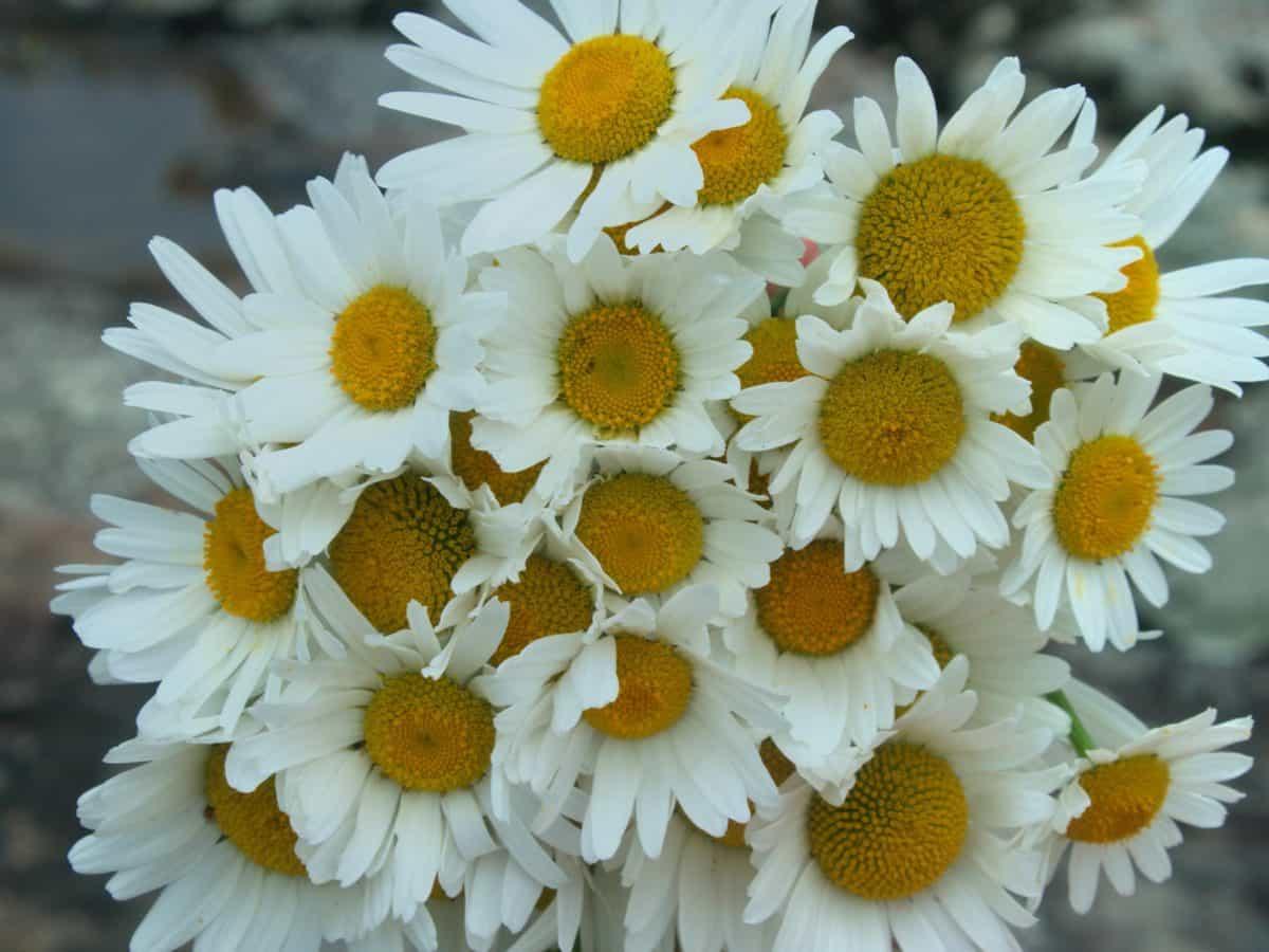 bouquet, summer, flora, garden, macro, nature, flower, daisy, plant, herb