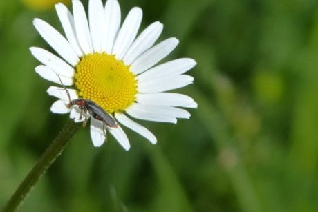 flora, summer, insect, nature, daisy, flower, plant, herb, blossom
