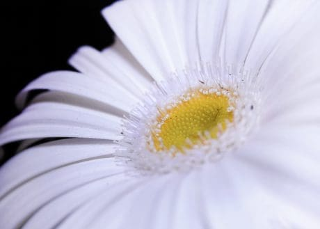Flora, fiore bianco, macro, dettaglio, polline, natura, Margherita, petalo, fiore, erba