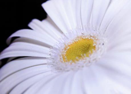 flora, white flower, macro, detail, pollen, nature, daisy, petal, blossom, herb