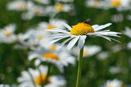 summer, flora, insect, macro, meadow, garden, nature, leaf, flower, daisy