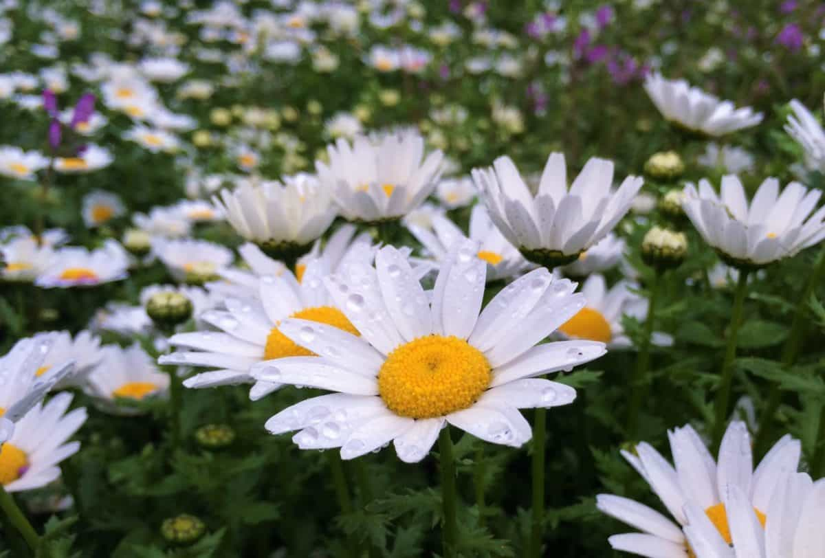 leaf, garden, flower, flora, meadow, summer, petal, nature, daisy