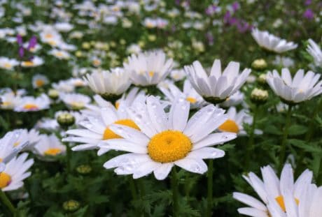 daun, bunga, flora, padang rumput, musim panas, kelopak, alam, Taman daisy
