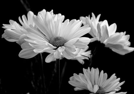 nature, flower, flora, macro, monochrome, summer, petal, daisy, blossom, bloom
