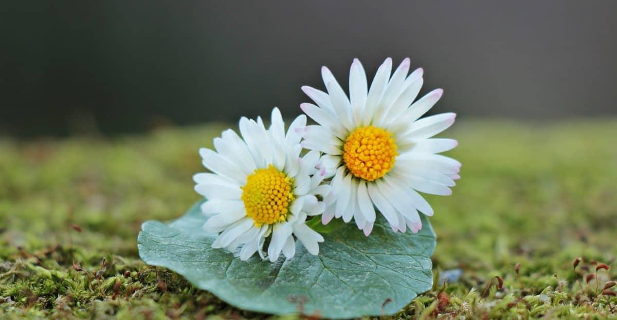 summer, flower, nature, still life, flora, leaf, daisy, plant, blossom