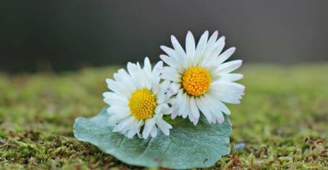 sommer, blomst, nature, stadig liv, flora, blad, daisy, plante, blossom