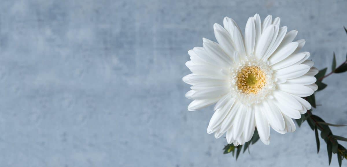 flora, nature, flower, daisy, white, petal, blossom, plant