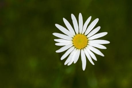 flower, nature, flora, summer, daisy, plant, herb, blossom