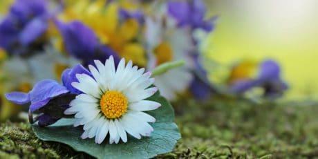jardin, l'été, nature, feuilles, flore, fleur, daisy, plante