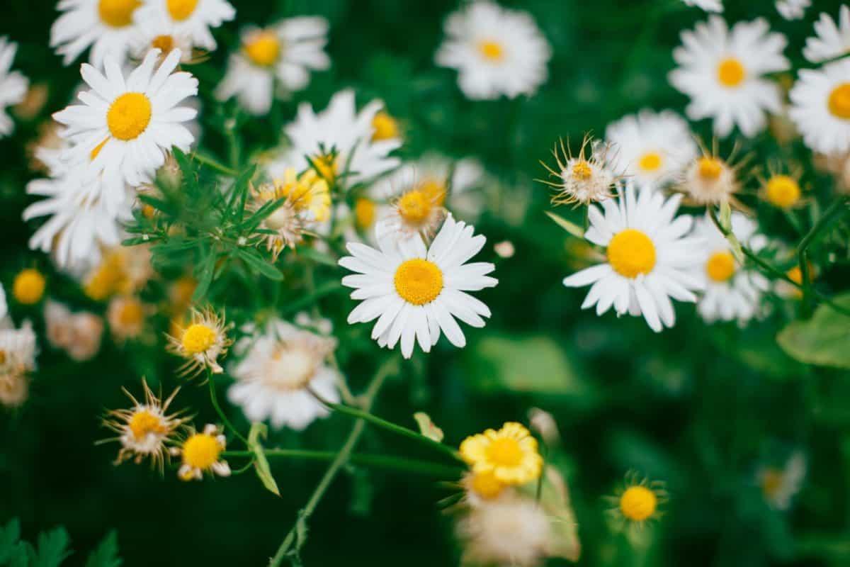 flower, garden, grass, leaf, flora, meadow, nature, summer, daisy