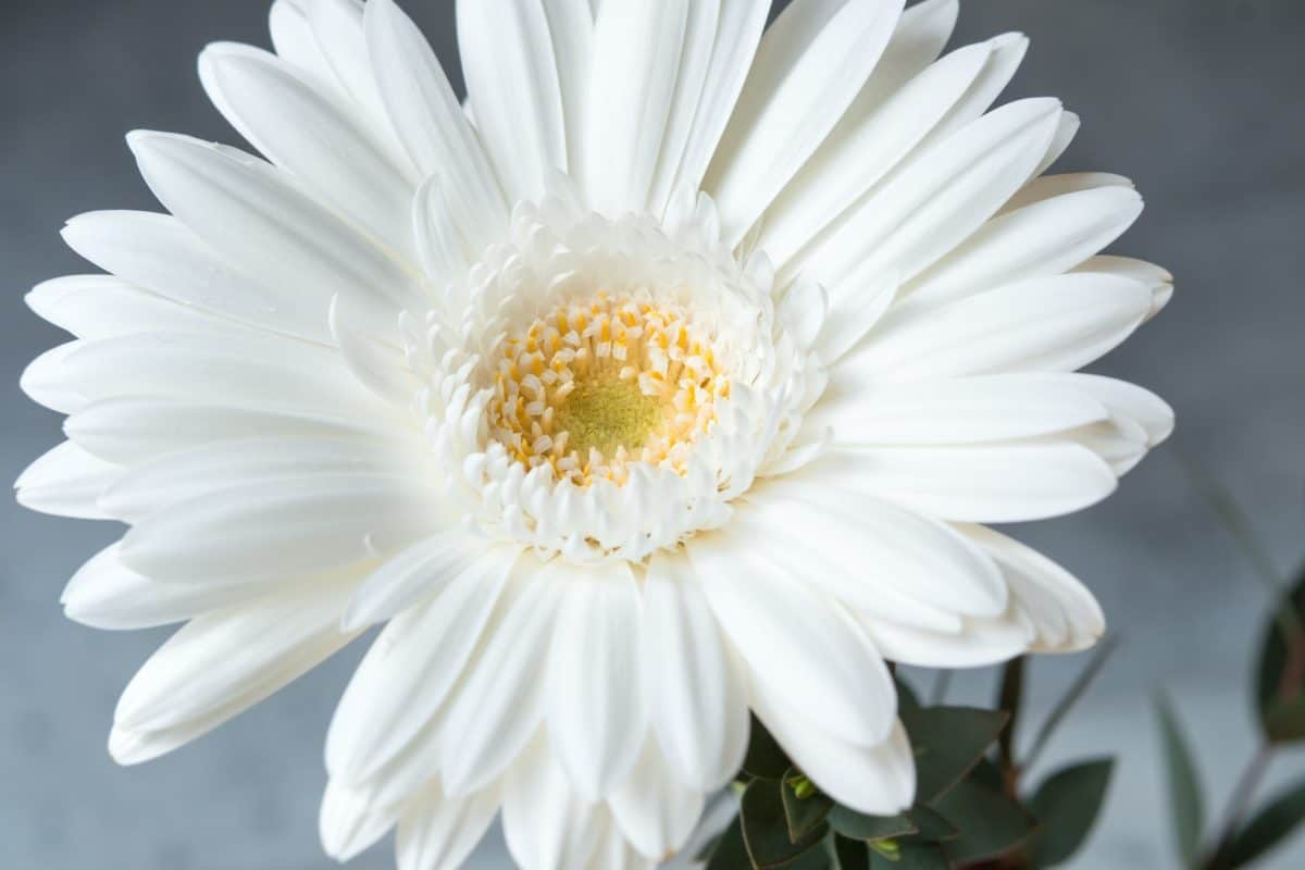 flower, petal, nature, macro, white, flora, daisy, plant, blossom