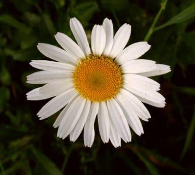 flower, petal, macro, garden, nature, flora, summer, daisy, plant