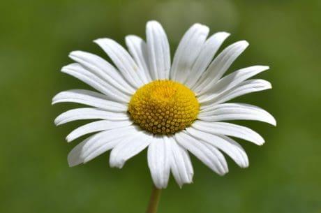 flower, summer, nature,macro, daisy, plant, blossom, garden, petal