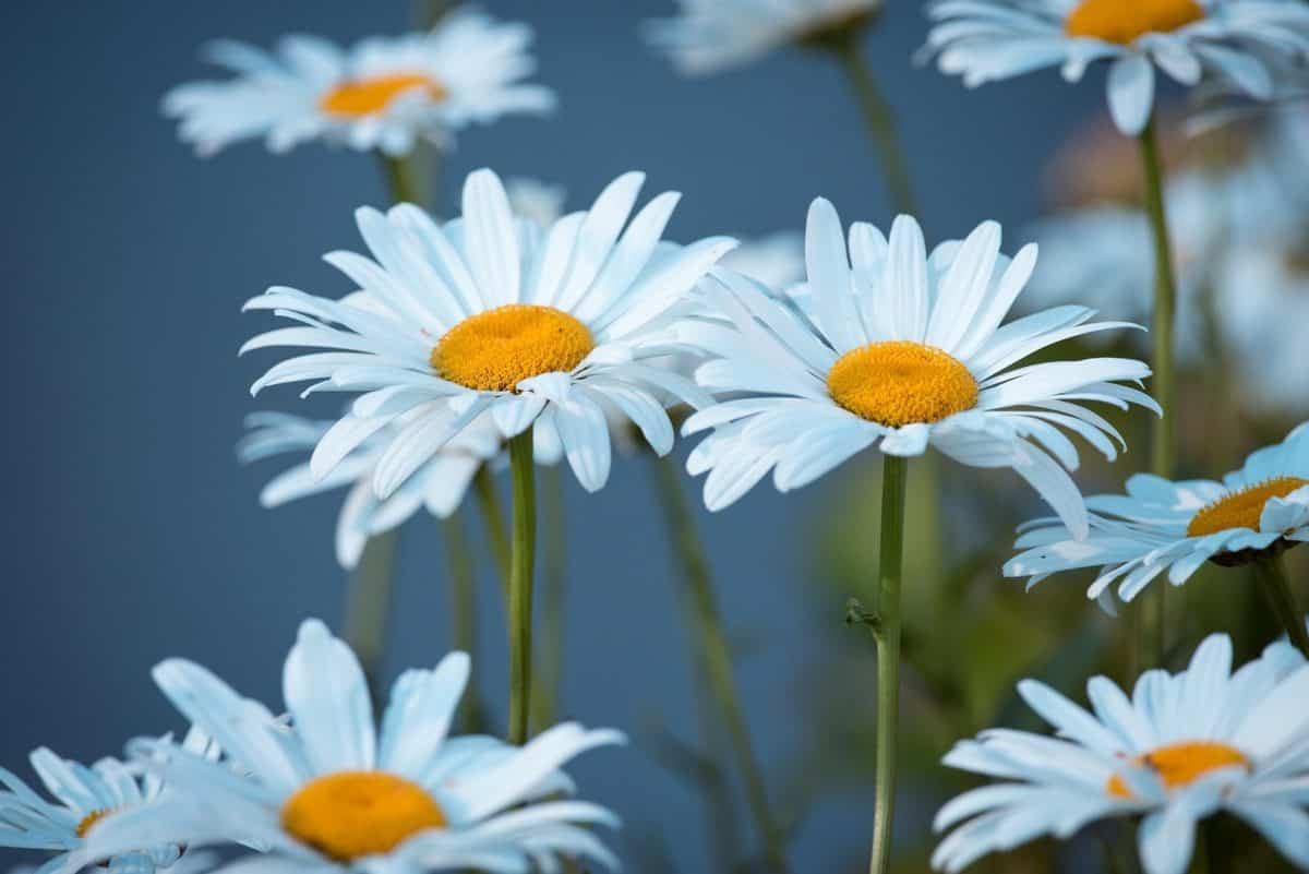 summer, flower, nature, petal, flora, garden, daisy, plant
