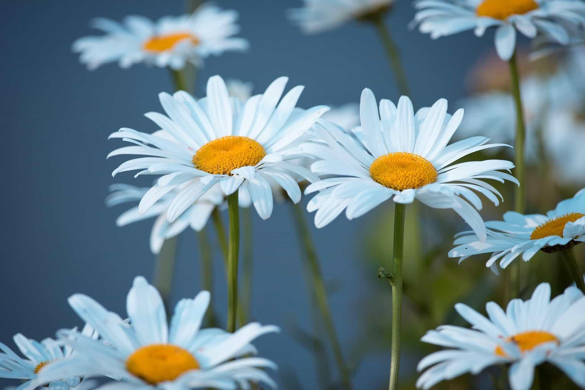 Free Picture Summer Flower Nature Petal Flora Garden Daisy Plant