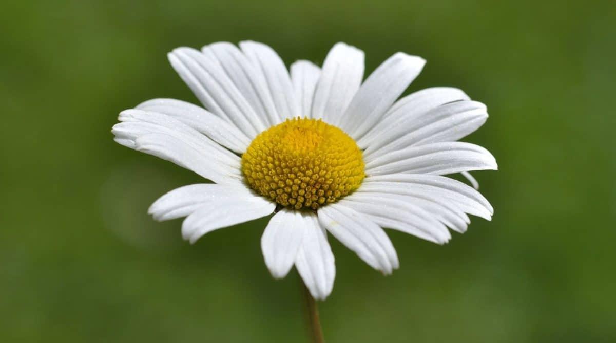 Natur, Blumen, Sommer, Makro, Daisy, Pflanze, Kraut, Blüte, Garten