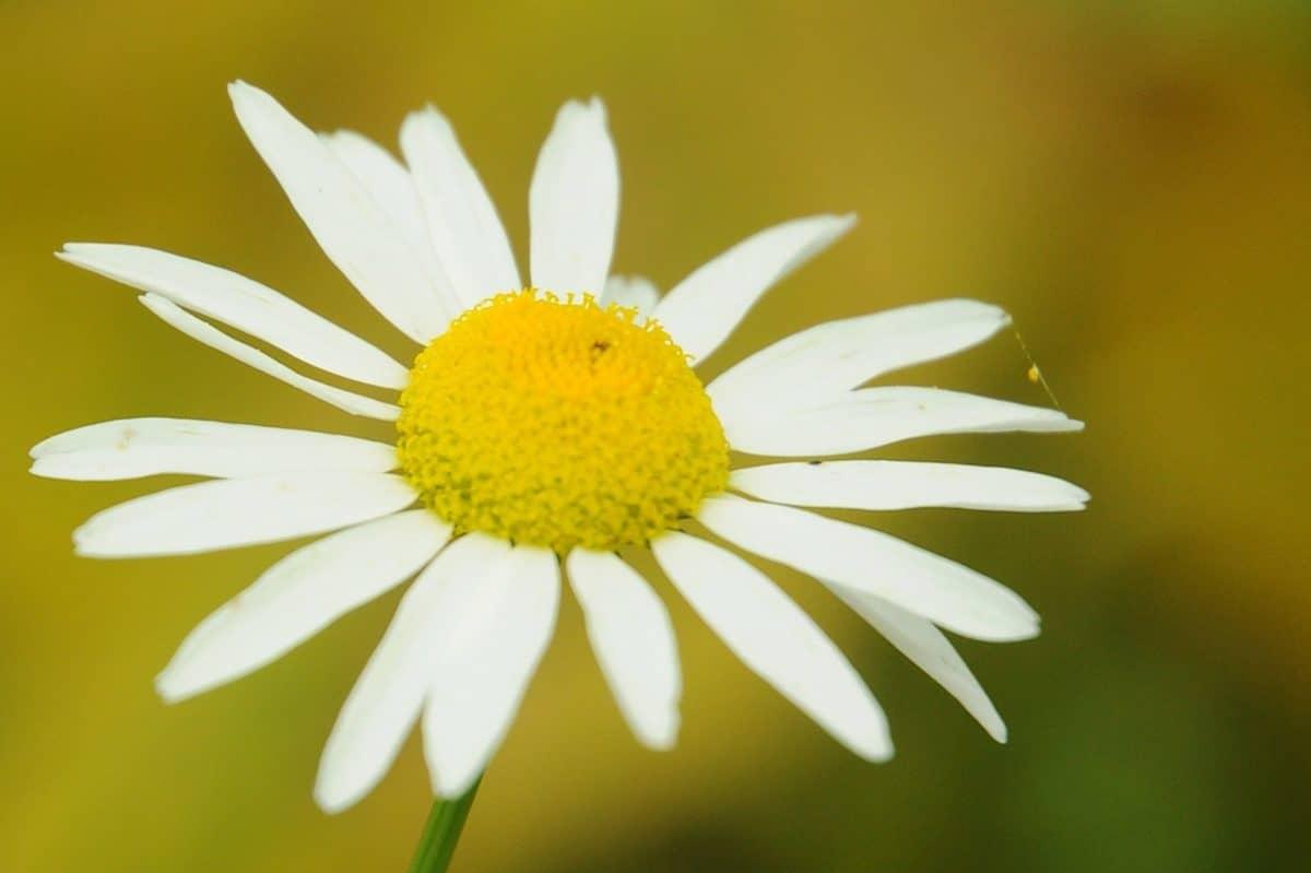 nature, flora, flower, daisy, herb, plant, macro, pollen, nectar, blossom