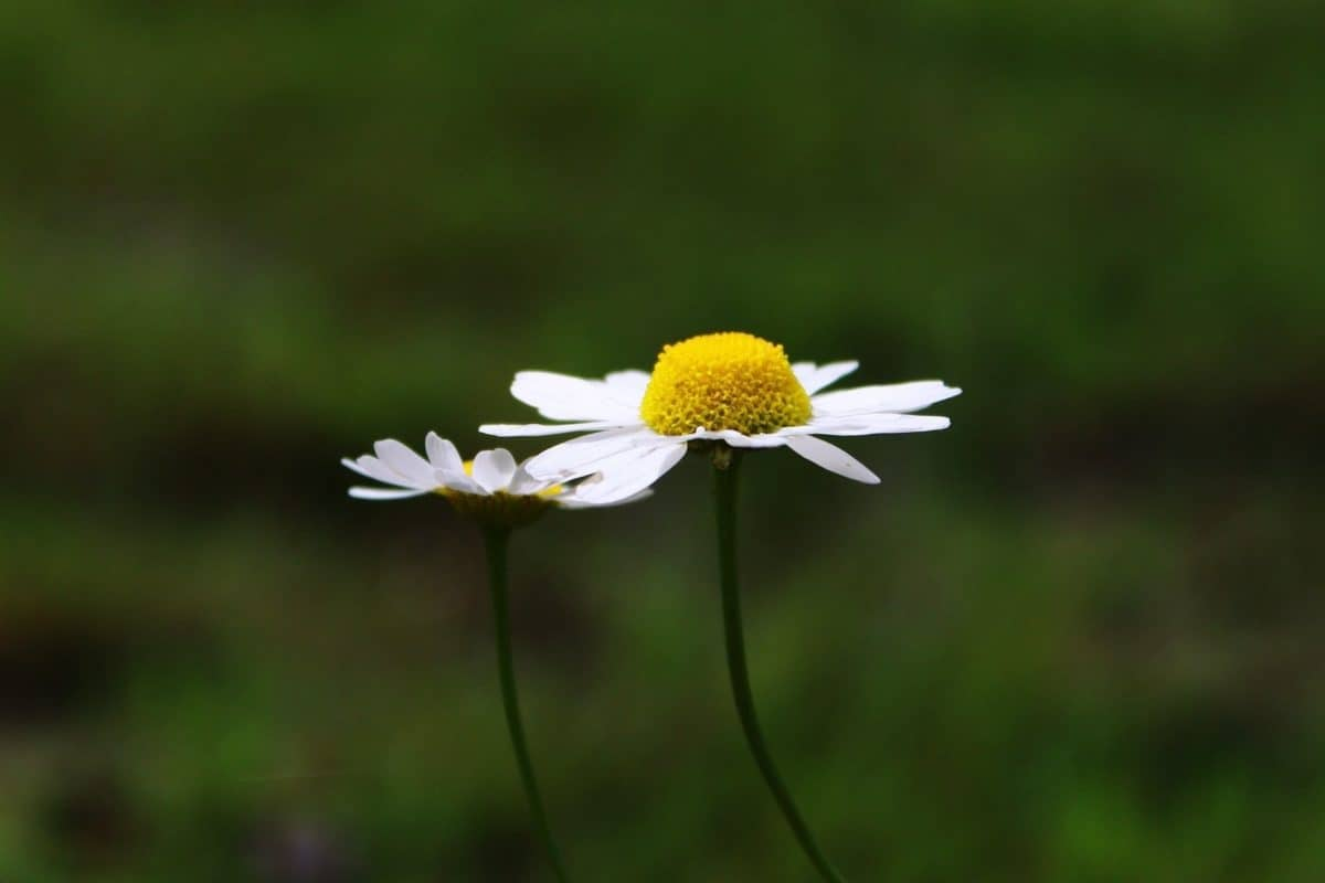 nature, wildflower, summer, flora, herb, plant, daisy, chamomile