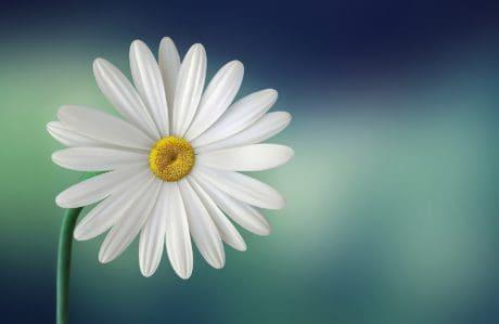 Flora, sifat, bunga, makro, musim panas, daisy, bunga, kelopak, tanaman