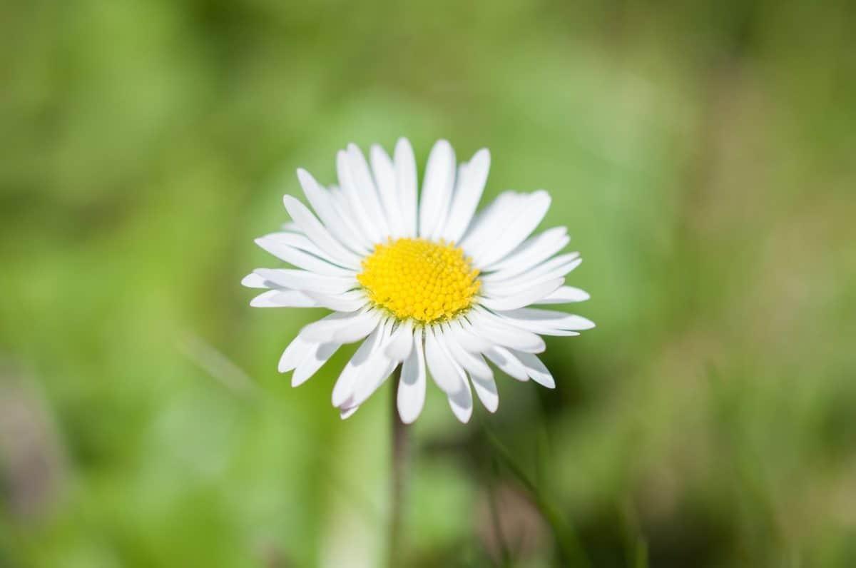flower, flora, nature, summer, daisy, plant, sunshine, blossom, herb
