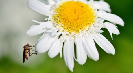 flower, pollen, nature, summer, bee, insect, flora, daisy