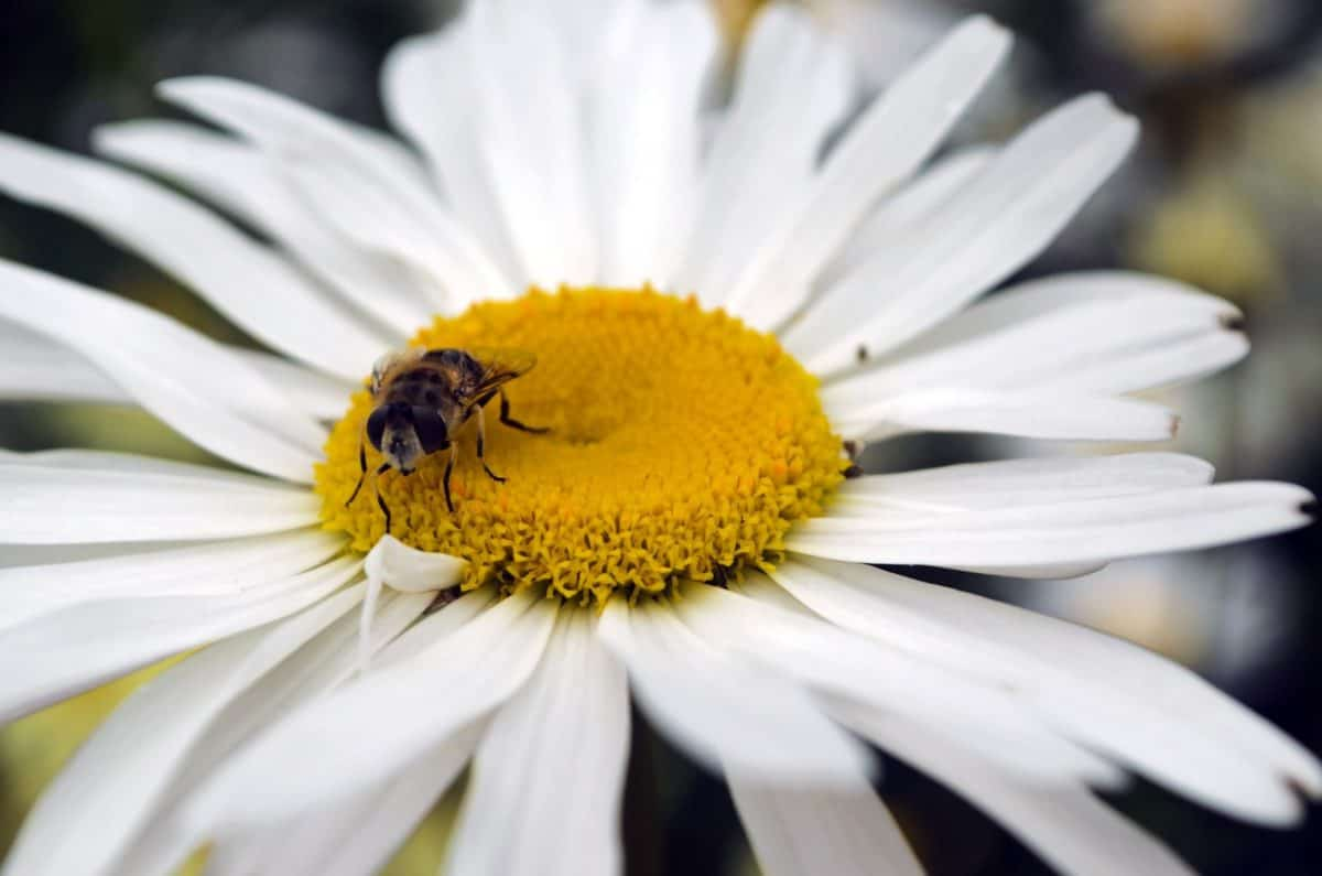 summer, bee, flora, flower, nature, insect, pollen, daisy