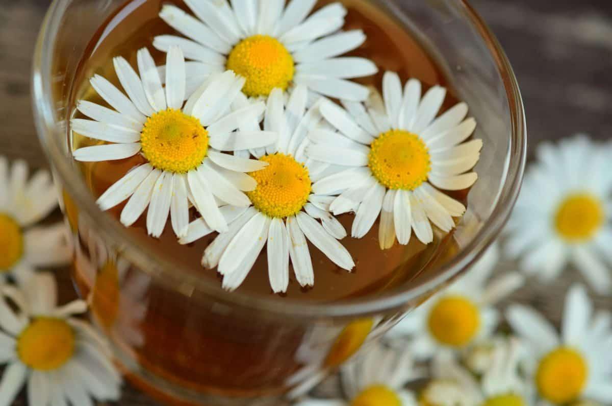 chamomile, tea, flower, daisy, plant, blossom, herb, petal, meadow