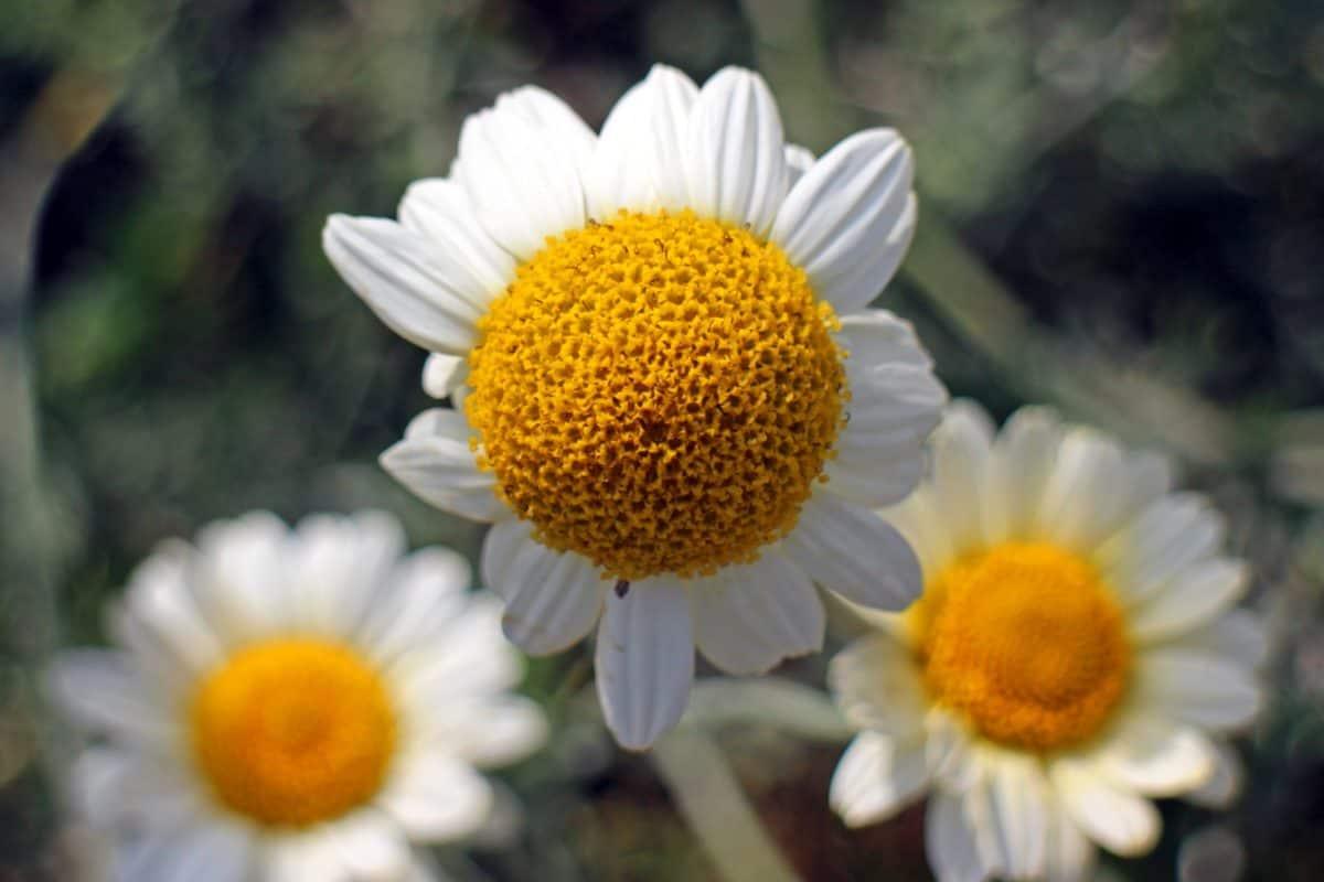 summer, flora, chamomile, nature, flower, petal, daisy, herb