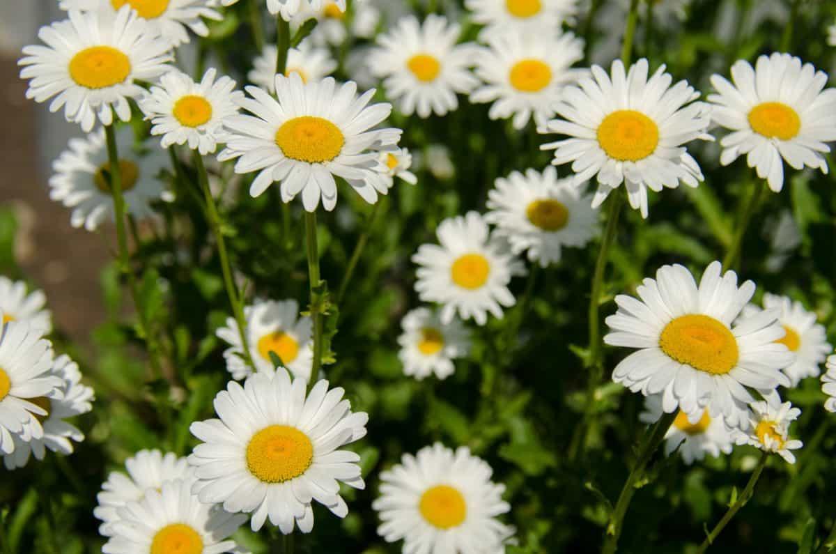 garden, field, flora, daisy, nature, flower, summer, leaf