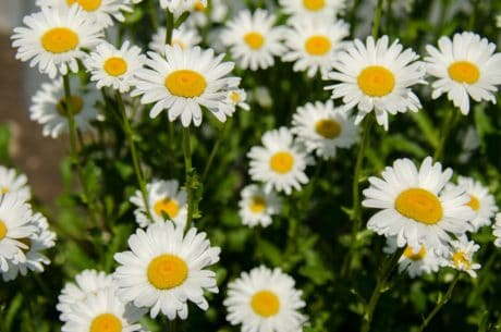 garden, field, flora, daisy, nature, flower, summer, leaf