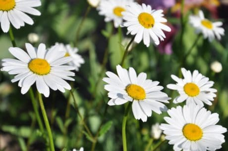 flower, flora, garden, nature, summer, daisy, outdoor, daylight, daisy, plant
