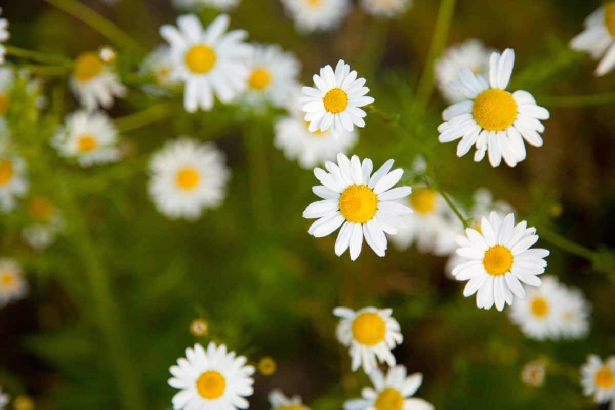 flora, field, nature, garden, chamomile, grass, flower, summer