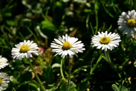 nature, flower, flora, outdoor, meadow, summer, field, daisy, herb, plant