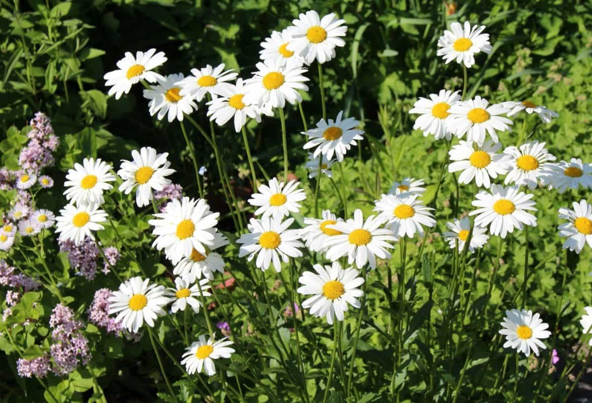 flower, flora, summer, field, petal, nature, garden, daisy, sunshine, vegetation