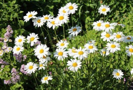 flower, flora, summer, field, petal, nature, garden, daisy, sunshine, vegetation