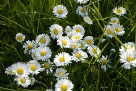 flora, nature, summer, flower, daisy, green grass, field, garden, grass