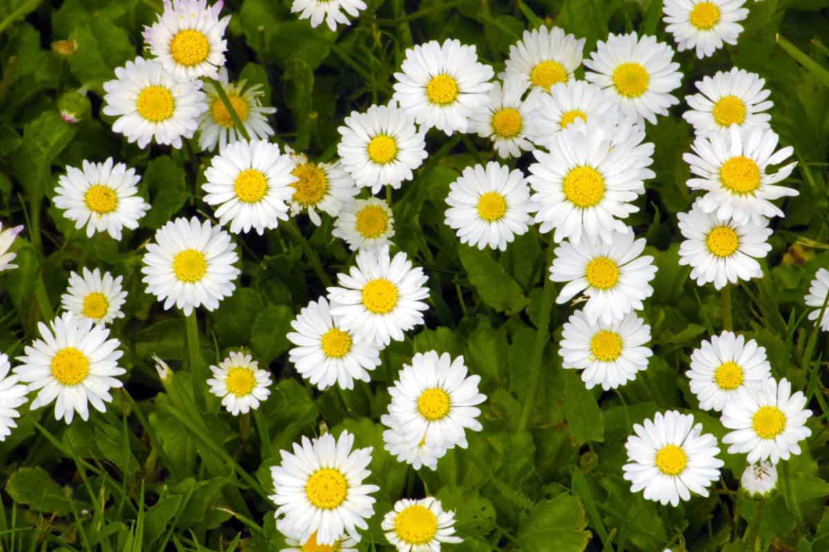nature, flora, flower, leaf, garden, summer, daisy, herb, green grass