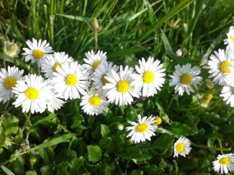 daisy, daylight, sunshine, field, flora, garden, nature, grass, summer, wildflower