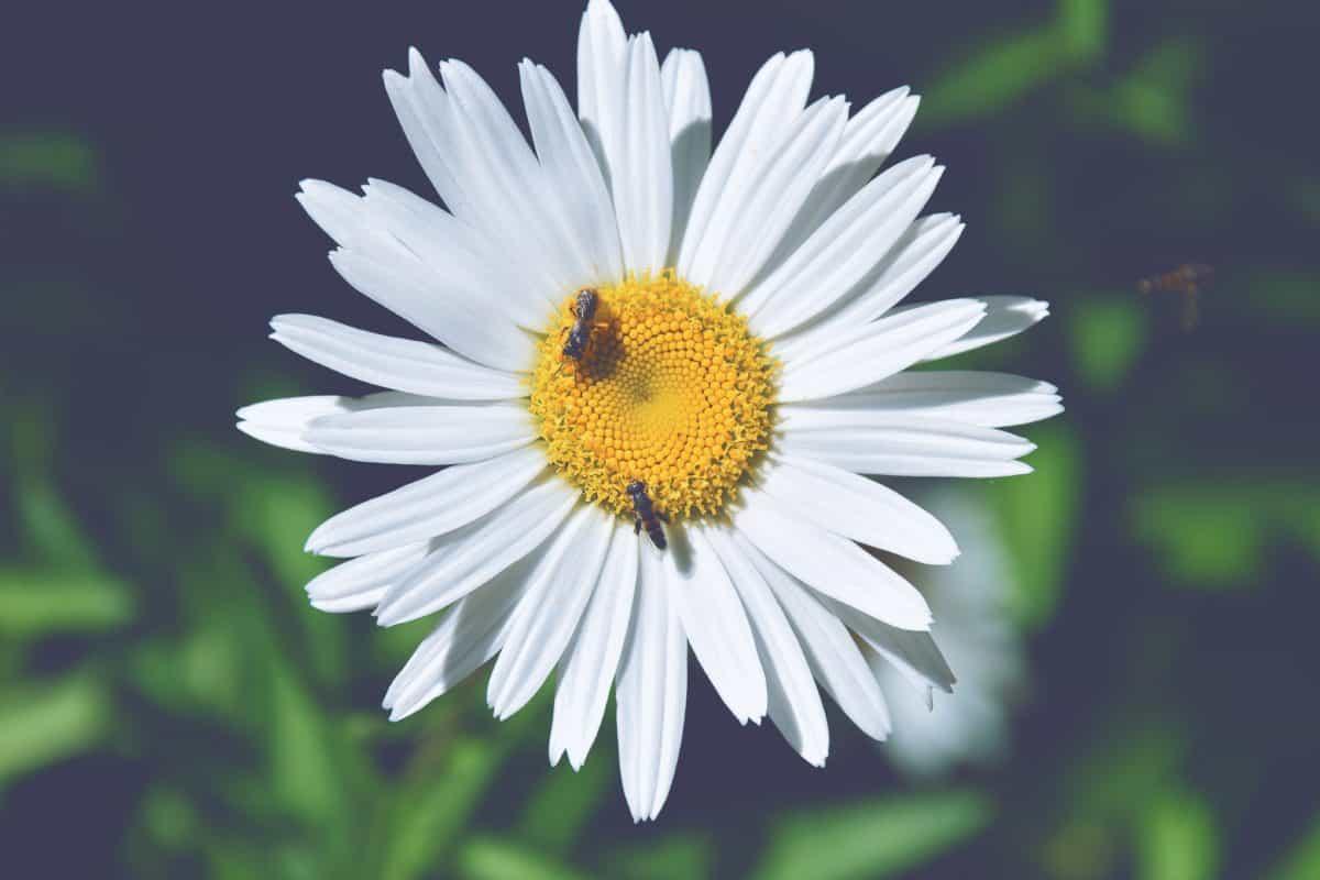 summer, flora, flower, nature, daisy, plant, herb, blossom