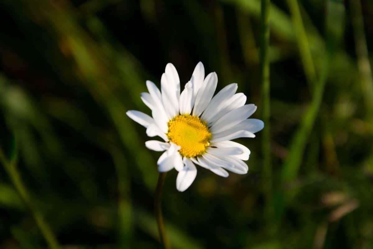 nature, jardin, l'été, fleur, flore, daisy, plante, fleur