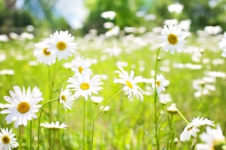 chamomile, garden, grass, nature, field, flower, flora, summer