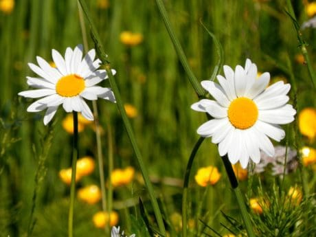 flora, nature, summer, daisy, meadow, green grass, garden, grass, flower, field