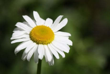 flower, summer, flora, nature, daisy, plant, herb, blossom