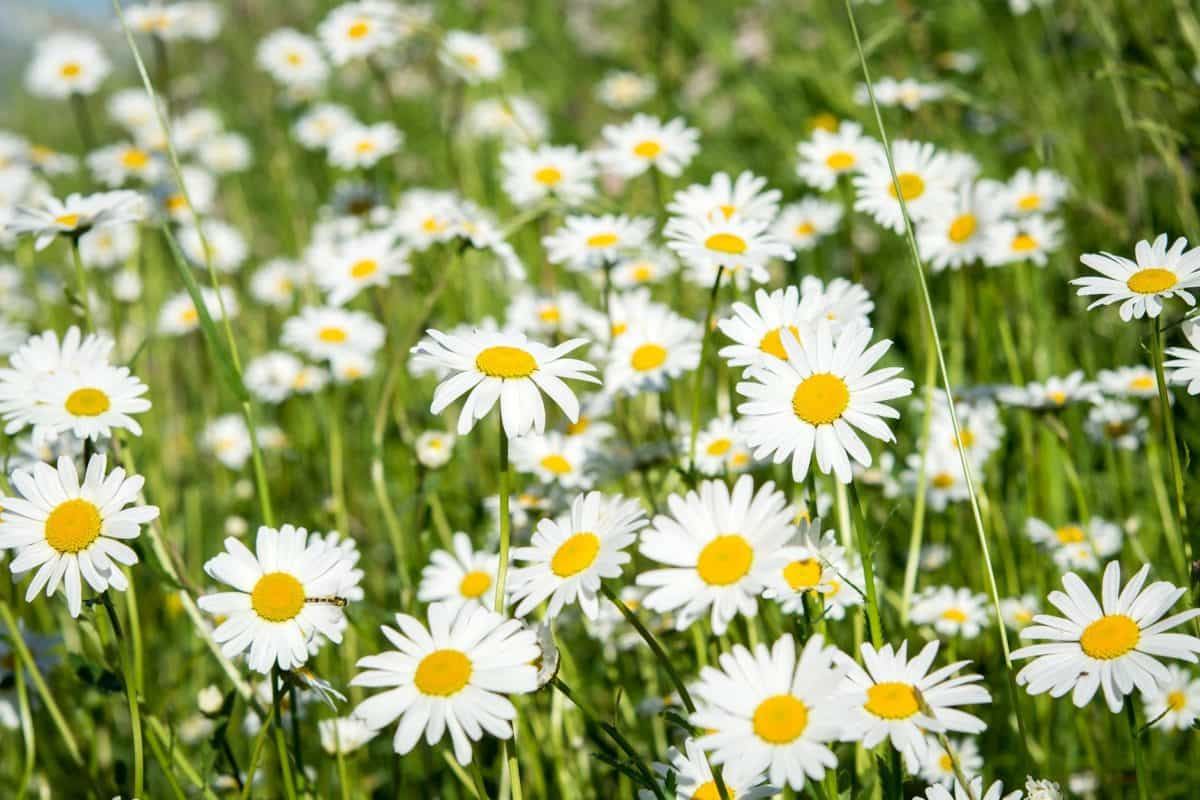 Free Picture Summer Flower Field Sunshine Daisy