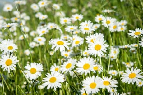 summer, flower, field, sunshine, daisy, meadow, grass, nature, garden, flora