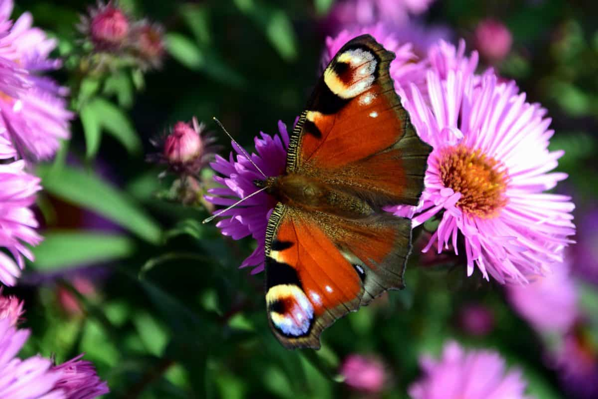 summer, butterfly, flora, flower, nature, macro, colorful, insect