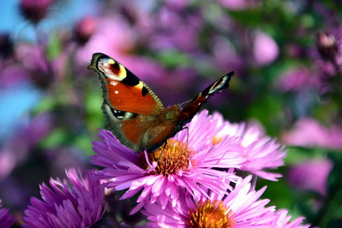 garden, summer, insect, flower, nature, butterfly