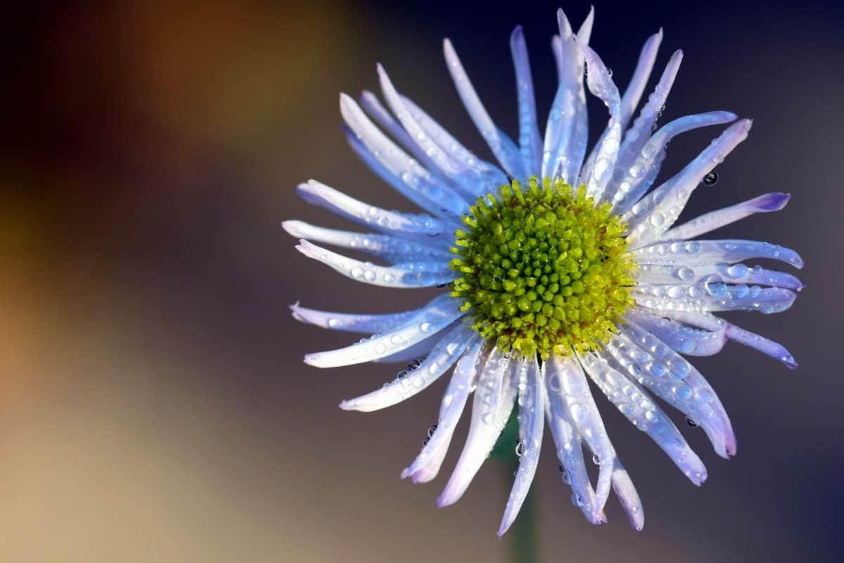 dew, macro, nature, summer, flower, flora, plant, herb, blossom, garden