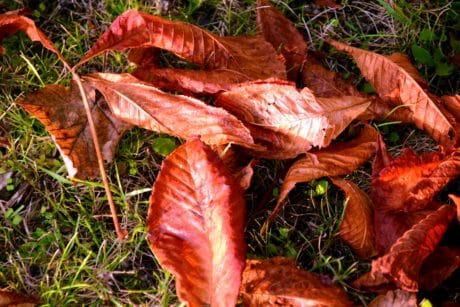 nature, ground, leaf, herb, autumn, red, vegetable, outdoor, grass