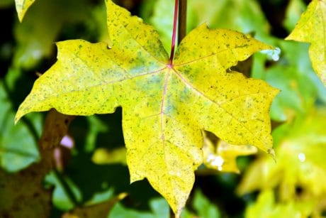 leaf, nature, flora, autumn, tree, plant, green leaves, macro